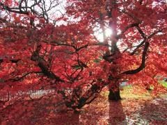japanese_maple_2_medium6